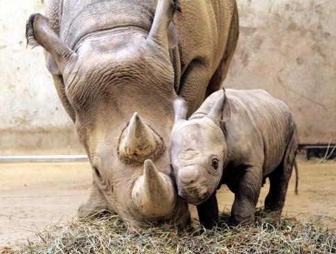 western-black-rhino-with-calf